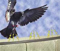 Pigeon landing on a wall that has shock ttrack installed