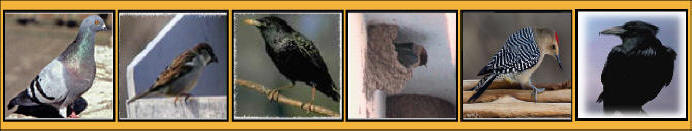 Pigeons Sparrows Starlings Swallows Woodpecker Crow Control Removal