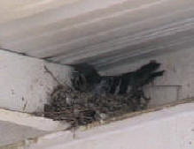Pigeon on nest up under and overhang of I beams and sheet metal