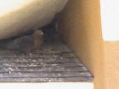Pigeon under an eave and is looking to start build a nest