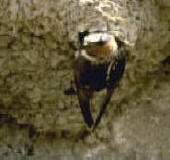 Cliff swallow outside the mud nest