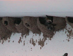 Cliff swallow control of mud nests